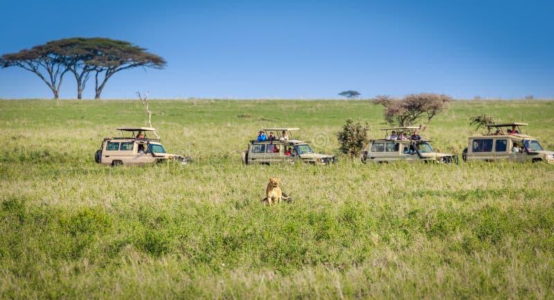 Safarilöweaufpassen stockfotos