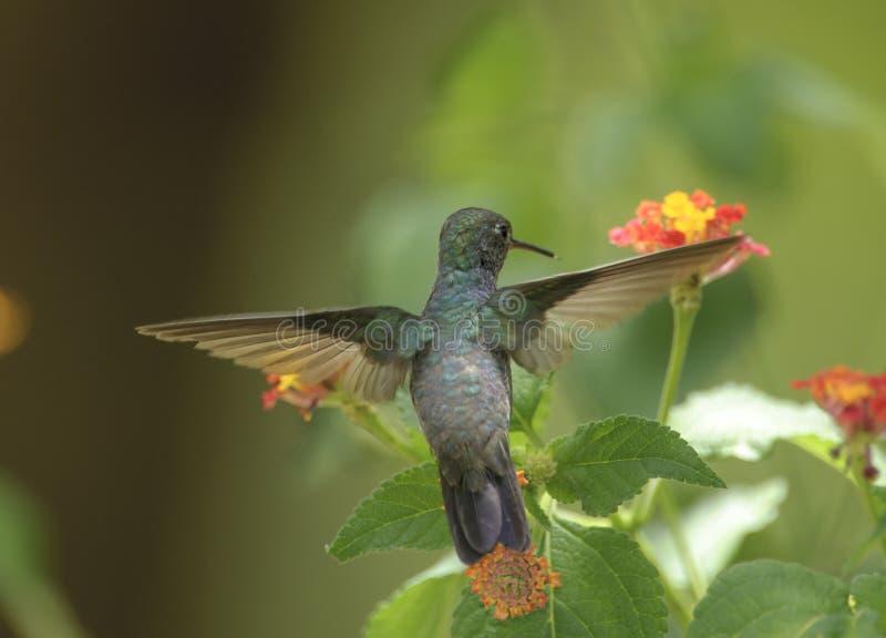 Saffier-spangled Emerald Hummingbird (Amazilia-rondoniae) royalty-vrije stock foto's