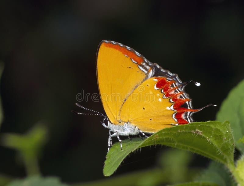 Saffiro di porpora, epicole di Heliophorus, Garo Hills, Meghalaya, India fotografia stock libera da diritti