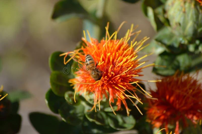 Saffloerbloesem met de macro van de bijenclose-up stock foto