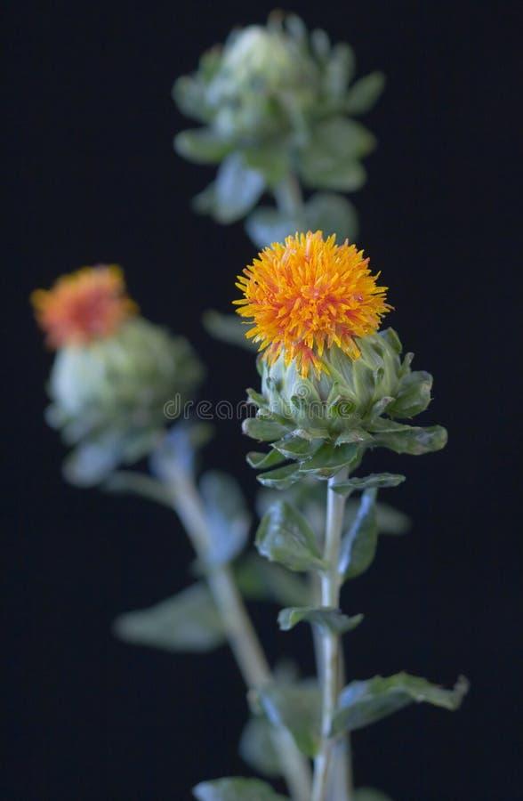 safflower carthamus tinctorius στοκ φωτογραφία με δικαίωμα ελεύθερης χρήσης