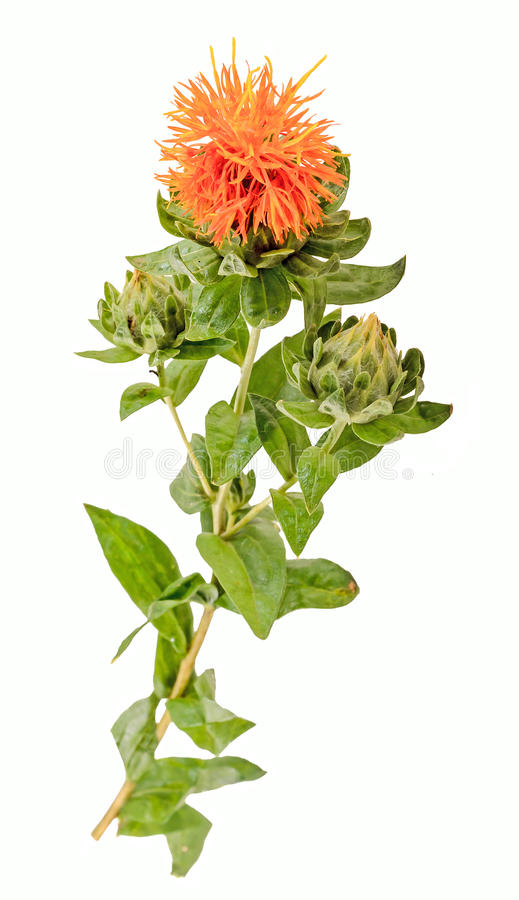 Safflower (Carthamus tinctorius L.) is a highly branched, herbaceous, thistle-like annual plant. It is commercially cultivated for vegetable oil extracted from royalty free stock images