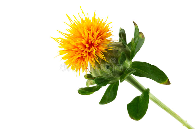 Safflower royalty free stock images