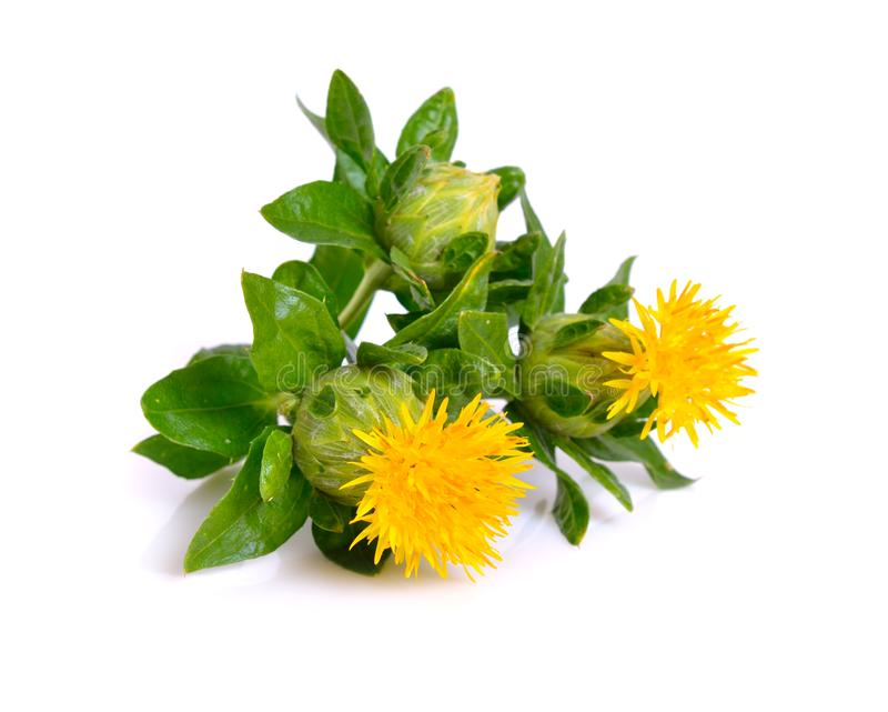 Safflower`s flower. royalty free stock images