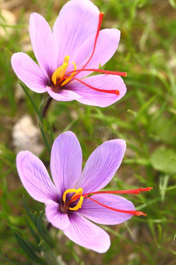 Saffraanbloemen stock afbeelding
