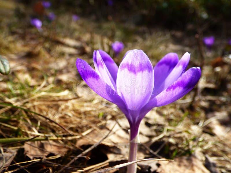 Saffran krokusheuffelianus, blomma som är violett royaltyfri fotografi