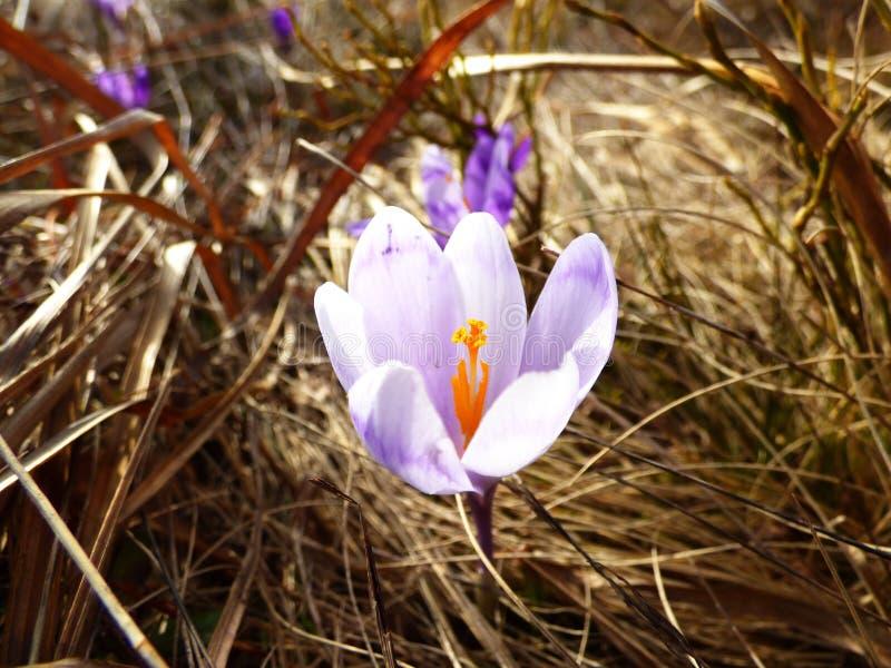 Saffran krokusheuffelianus, flover som är violett arkivfoton