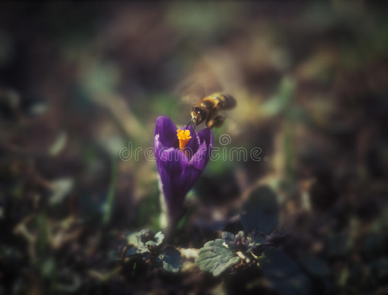 Download Saffron and bee. stock photo. Image of single, plant - 25566066