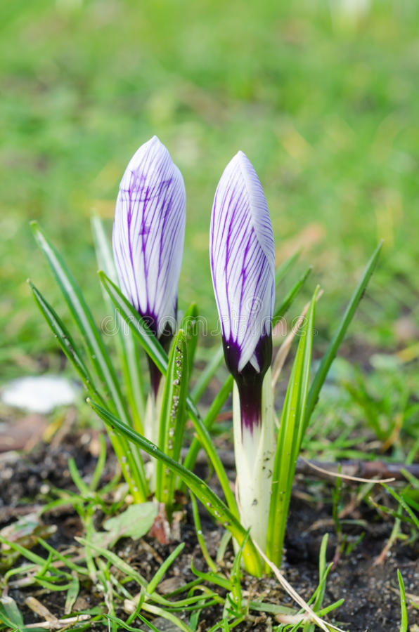 2 Saffron Crocus closed. First flowers of the spring royalty free stock photos