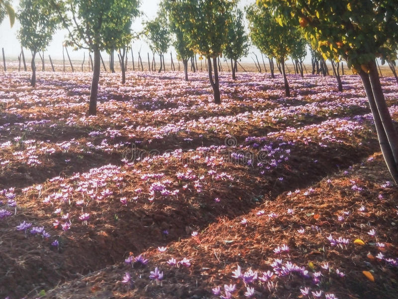 Field of crocus flowers royalty free stock photo