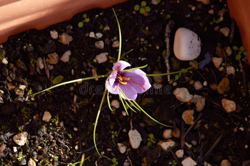 Saffron flower Bud open close-up Duurzame saffraan royalty-vrije stock afbeelding