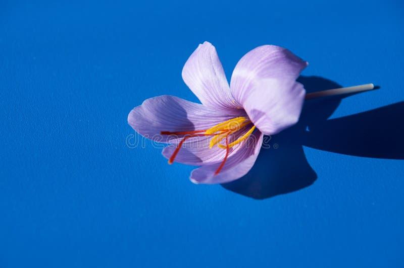 Saffron flower Bud open close-up Duurzame saffraan royalty-vrije stock foto's