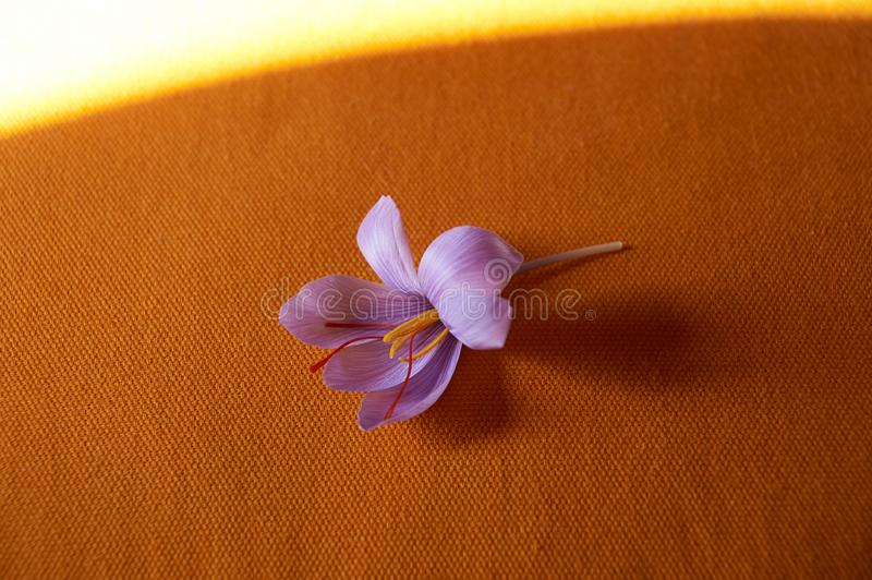 Saffron flower Bud open close-up Duurzame saffraan royalty-vrije stock fotografie