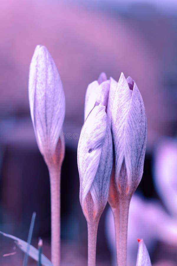Saffron Flowers Crocus speciosus. Macro of Saffron Flowers Crocus speciosus against blurred background of nature stock photos