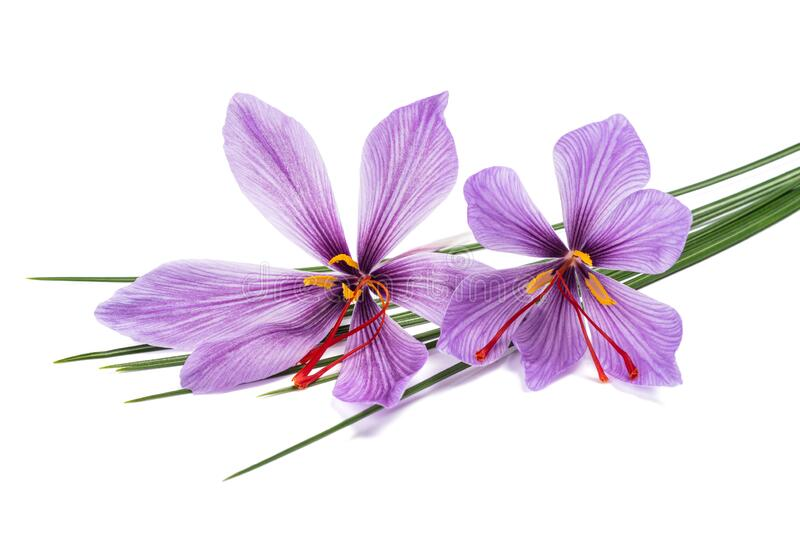 Saffron  flowers. Isolated on white background royalty free stock images