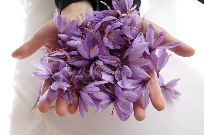 Saffron flowers. Production in abruzzo royalty free stock photography
