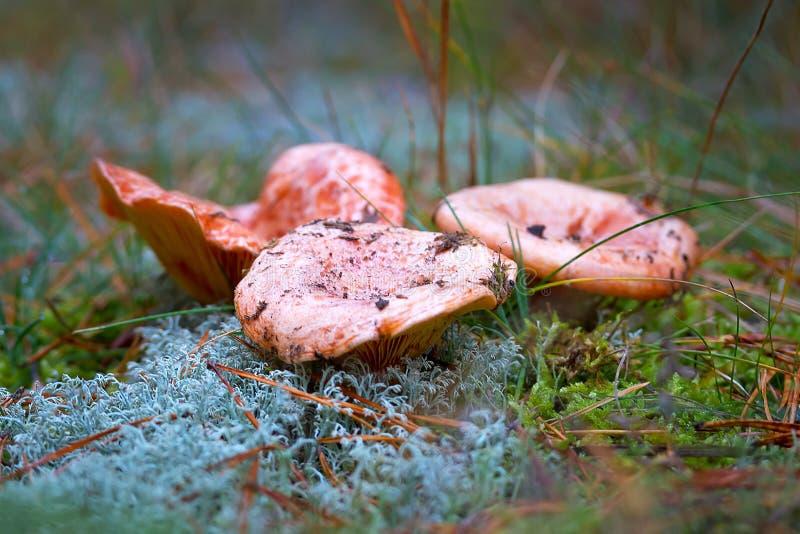 Saffron milk cap mushrooms stock images