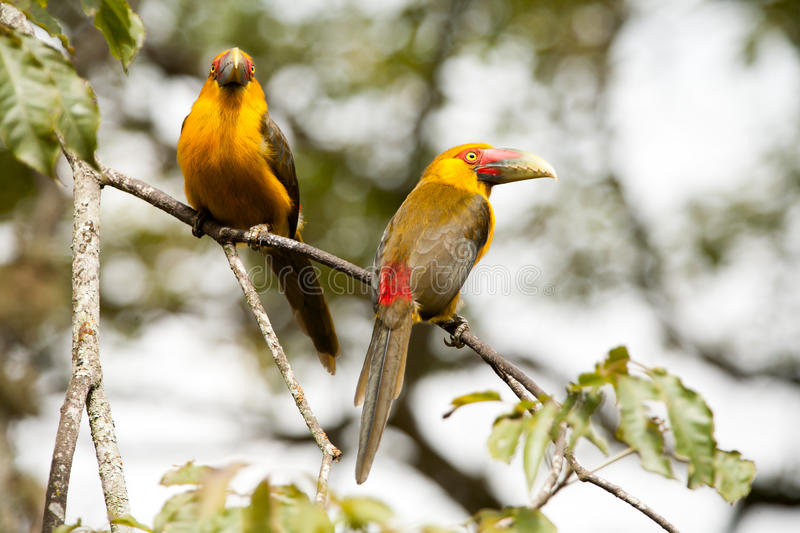 Saffron toucanets. Two Saffron toucanets in a branch tree - toucans royalty free stock photography