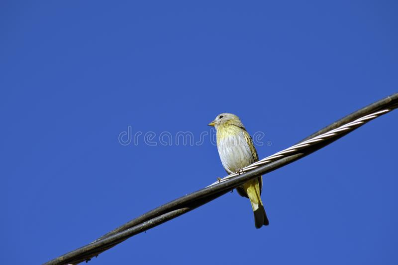 Saffron Yellow Finch on wire from the power grid royalty free stock image