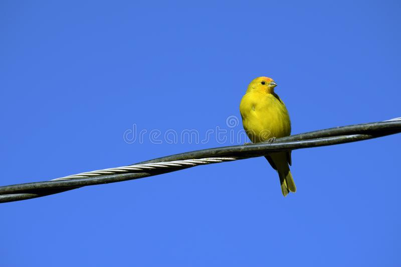 Saffron Yellow Finch on wire from the power grid royalty free stock photo