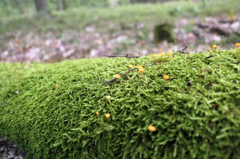 Saffrondrop bonnet Mycena crocata mushroom on tree trunk with. Mosses royalty free stock image
