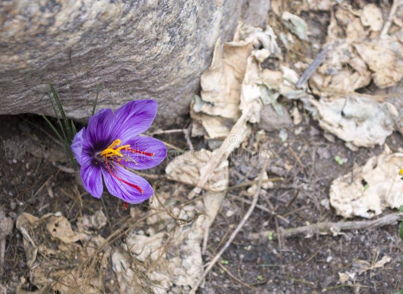 Saffrons se cosecha en gran escala en Jammu y Cachemira foto de archivo