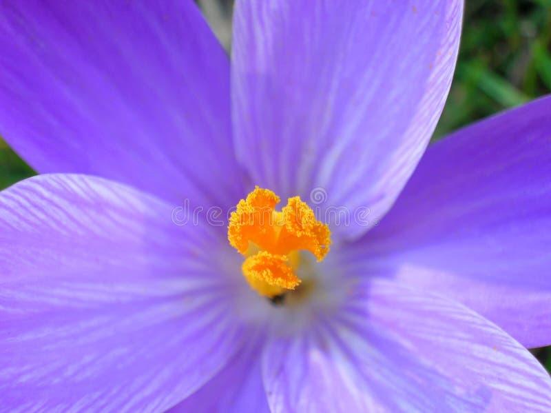 Safran bleu photographie stock