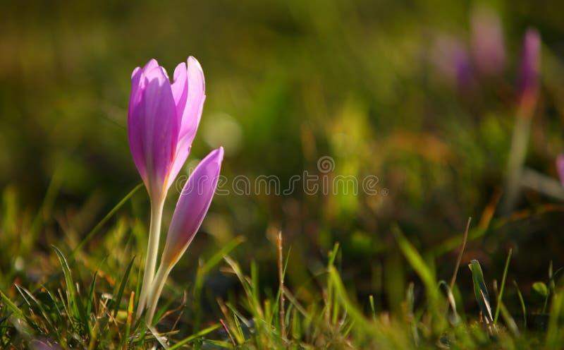 Safran d'automne d'autumnale de Colchicum images stock