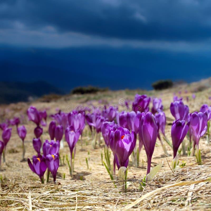 Safran de floraison photographie stock libre de droits