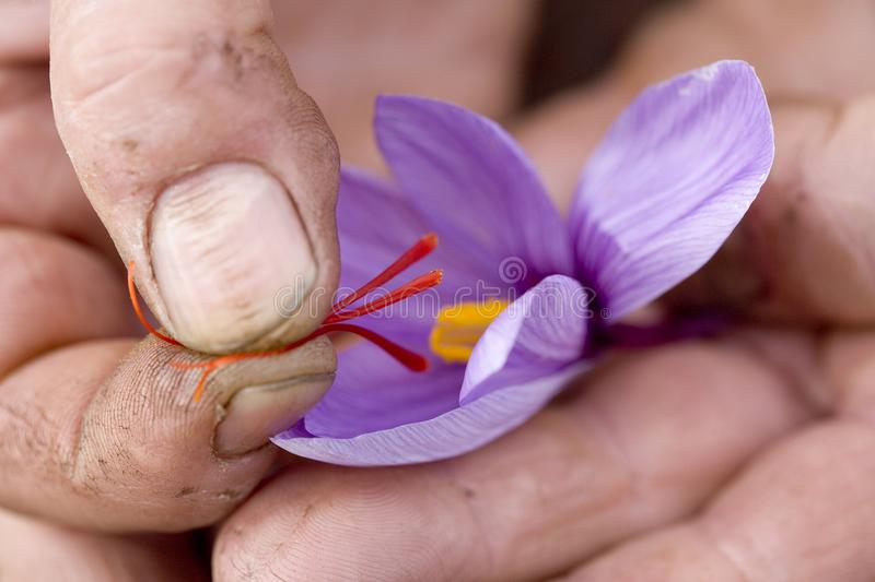 Saffron. Detail and contrast between the hardness of the fingers of the grower and the delicacy of the stigmas recently extracted from the saffron flower. Region royalty free stock photos