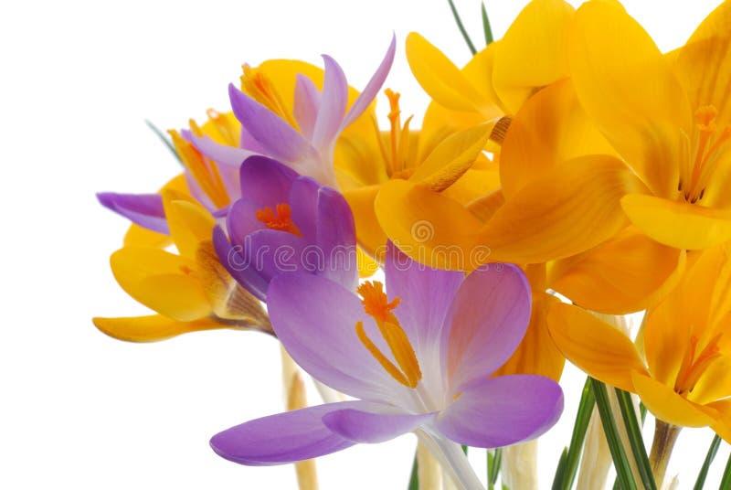 Safran violet et jaune de source photographie stock libre de droits