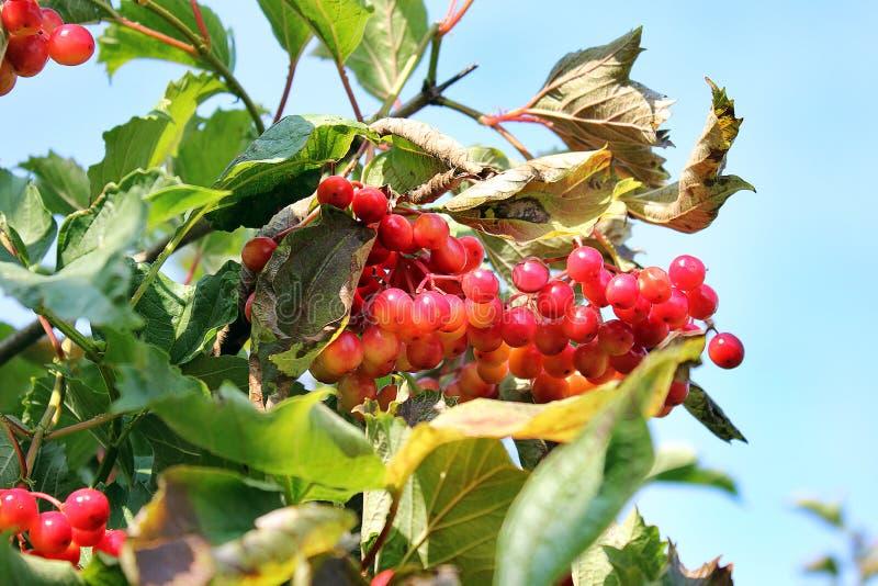 Saftig viburnum på trädet arkivfoton