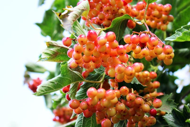Saftig viburnum på trädet royaltyfria bilder