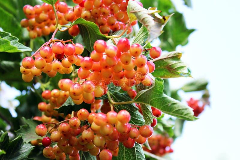 Saftig viburnum på trädet royaltyfria foton