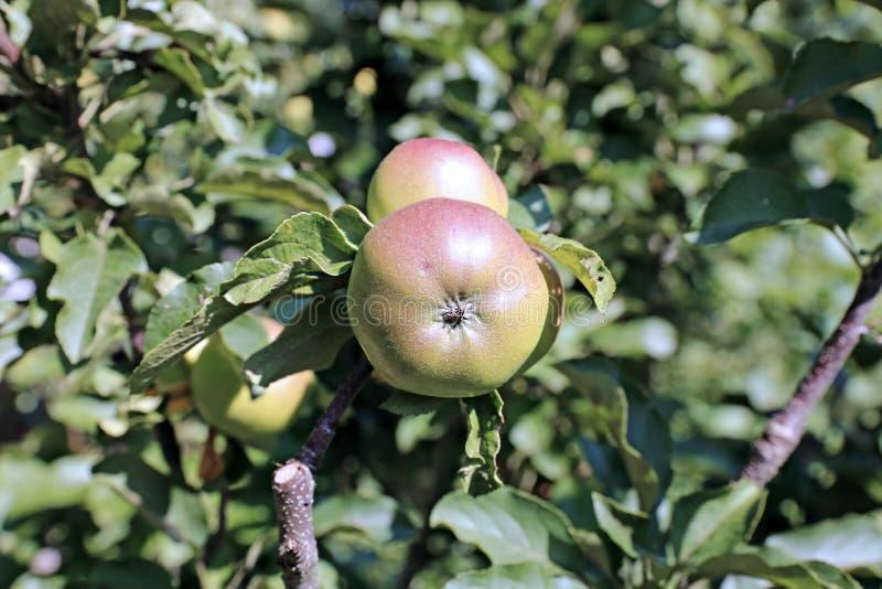 Saftiga äpplen på träd för ett äpple för filial columnar royaltyfri bild