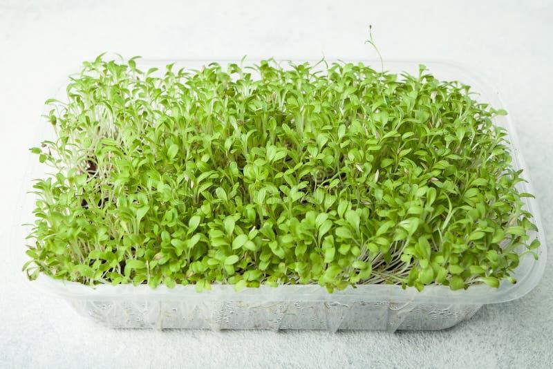 Saftiga forsar av mikrogräsplaner i en behållare, mat för viktförlust och vård- förbättring royaltyfria bilder