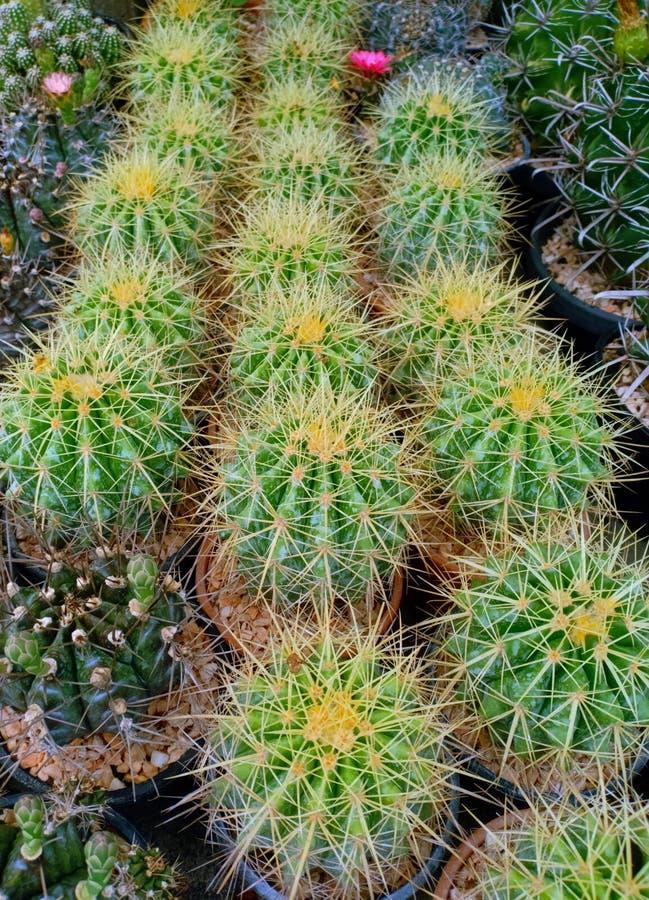 Saftige Anlage Kaktus Echinocactus Grusonii im Blumentopfbild stockfotos