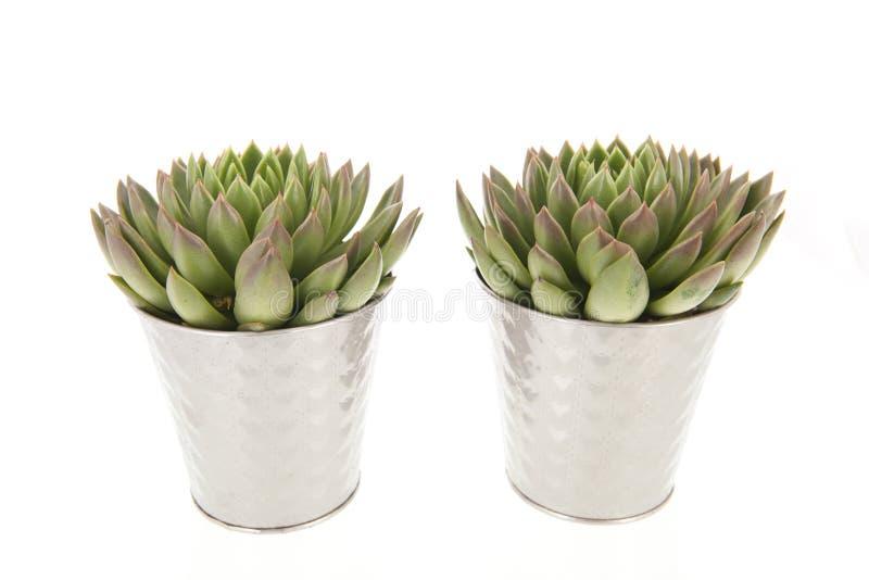 Saftige Anlagen in den Blumentöpfen stockfotografie