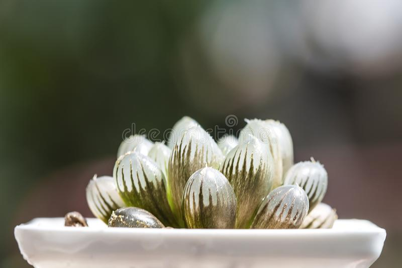 Saftige Birnen Haworthia-Kaktus im Topf lizenzfreie stockfotos