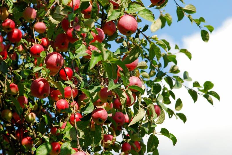 Saftige bunte Äpfel auf dem Baum lizenzfreie stockbilder
