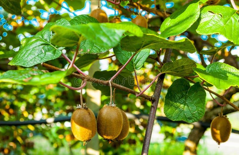 Saftige Früchte der Kiwi Kiwi auf einer Niederlassung im Garten stockbilder