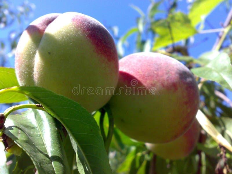 Saftige Pfirsiche lizenzfreies stockfoto