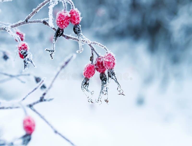 Saftige rote Hagebuttenbeeren, die im Wintergarten bedeckt hängen lizenzfreie stockfotos