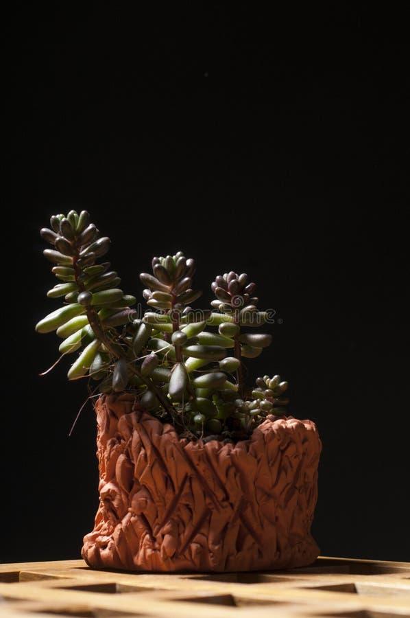 Saftiger Houseplant im Tongefäß stockfoto