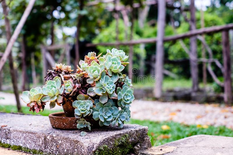 Saftiger Kaktus in der Nahaufnahme, mit schönem Muster lizenzfreie stockbilder