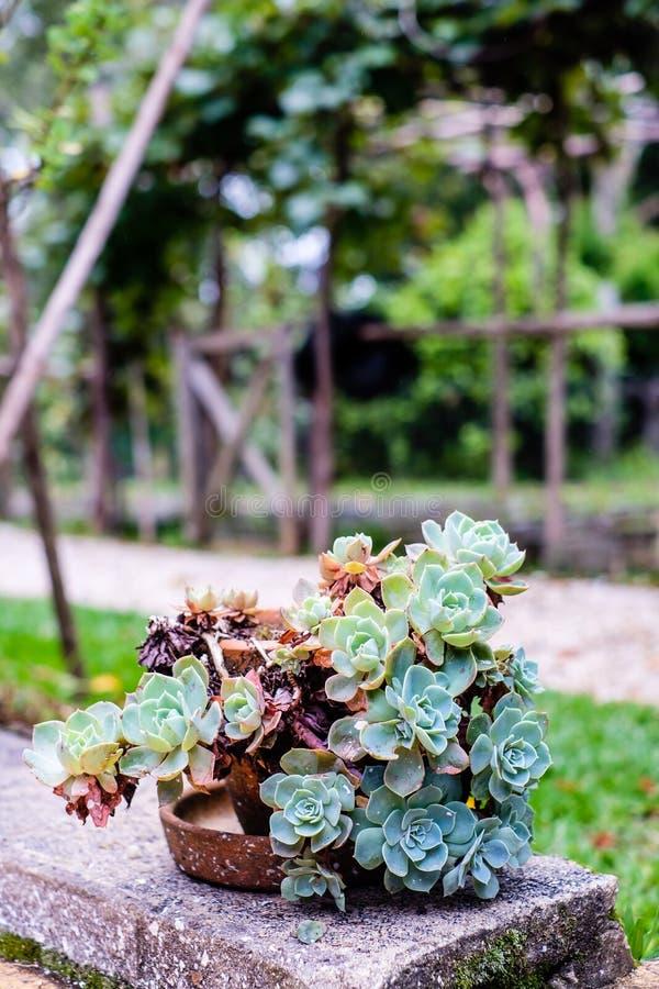 Saftiger Kaktus in der Nahaufnahme, mit schönem Muster lizenzfreie stockfotos