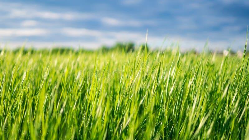 Saftiges Gras morgens stockbild