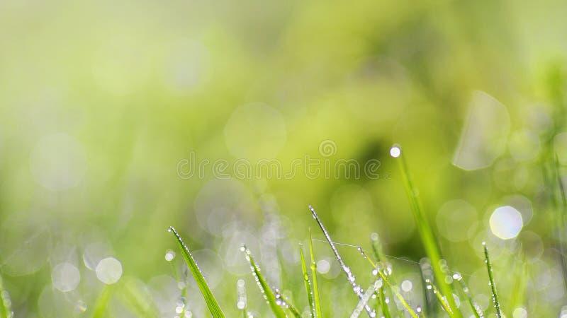Saftigt frodigt grönt gräs på äng med droppar av vattendagg i morgonljus i makroen för närbild för vårsommar utomhus, panorama royaltyfri bild