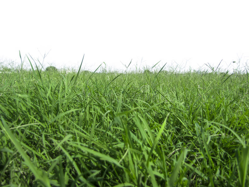 saftigt gräs på en vit bakgrund en royaltyfri fotografi