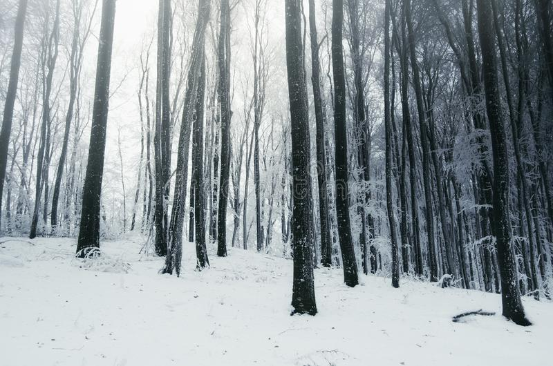 Sagavinterskog med snö royaltyfri fotografi